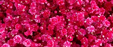 Tinted Gypsophila Hot Pink