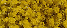 Tinted Gypsophila Yellow
