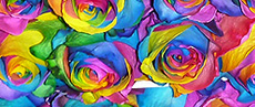 Tinted Roses Rainbow